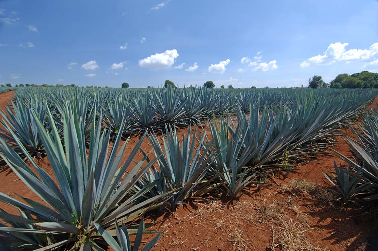 Blue Agave Tequila Plant blue-agave