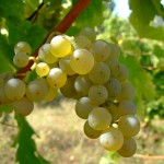 Sauvignon blanc grapes | Pic credit: Wikipedia